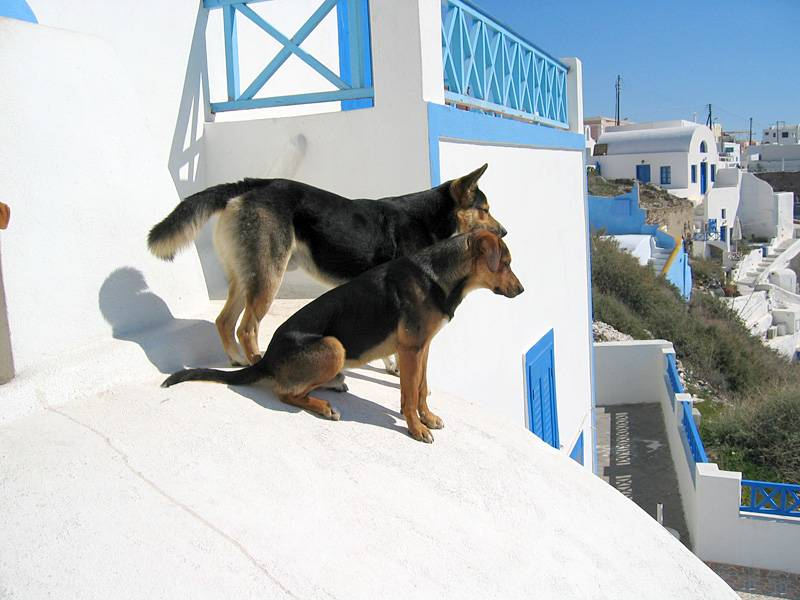 Stray Dogs in Santorini