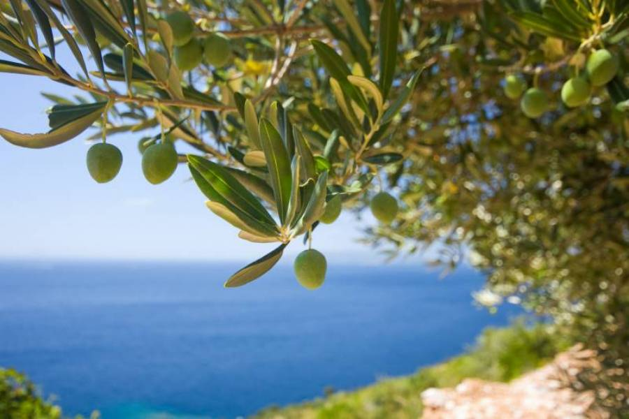 Olive Tree in the Greek Islands
